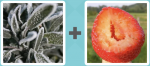 Level 271 Answer (Frost Strawberry)